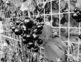 Grapes by izzy3301