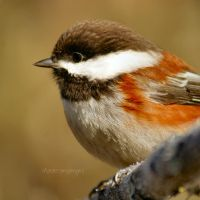 01/52 - Chestnut-backed Chickadee by charliesmyangel