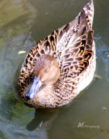 Brown teal by Amarantheans