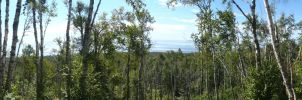 Open Birch Forest Panorama by Tarsurion