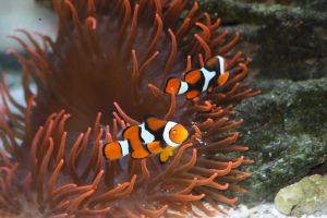 Clowns In Bubble Tip Anemone by Sp3nc3r-H1nds