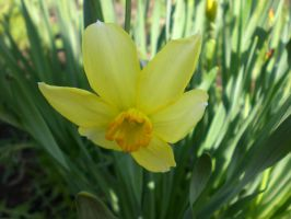 narcissus by KristyBarka