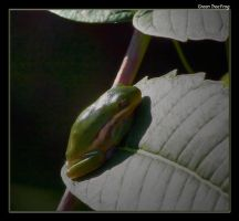 Green Tree Frog 08 by boron