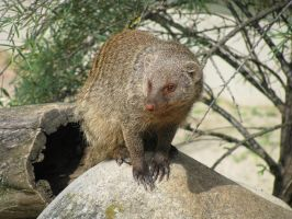 Animals 124 banded mongoose by Dreamcatcher-stock