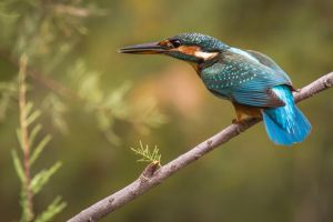 Kingfisher by fingolfin75