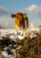 Guernsey Cow by Madam-Patchet