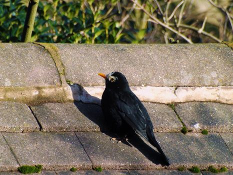 Blackbird Sunning Itself by WhiteWolfStock