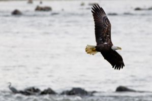 Eagle on the River by bovey-photo