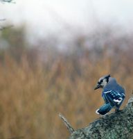 Blue Jay by Siasconset