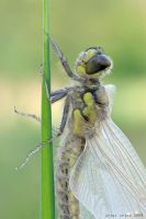 259.Dragonfly_closeup by Bullter