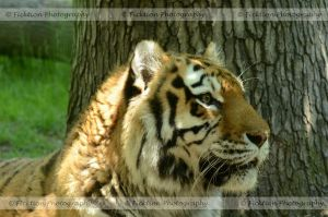 Big Cat Profile by FicktionPhotography