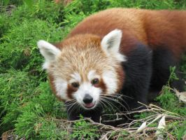 Red Panda by whisperingwolvesx27