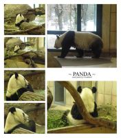 Zoo - Panda Pack by Gwathiell