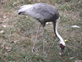 White Crowned Crane by dragons011