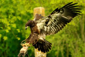 Juvenile Bald Eagle by Tinap