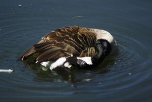 cleaning canadian goose by marob0501