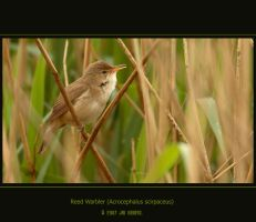 Reed Warbler by q-118