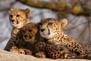Cheetah 7 by swissnature
