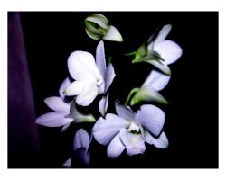 My Orchid 4 by keriwgd