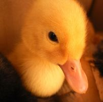 Baby duck I by grini