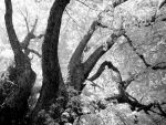 tree limbs in black and white by harrietsfriend