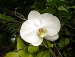 White Flower - Orchid by vica