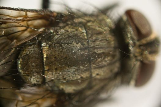 A fly...up close 4 by Egg-Salad