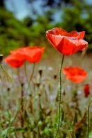 Red poppies by dolcesunset