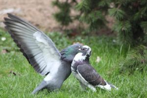 Pigeon fight 2 by CitronVertStock