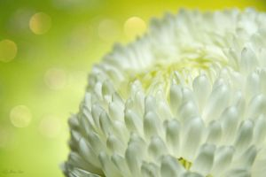 A Chrysanthemum II by Nora-Sims