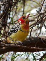 red and yellow barbet by wildroseblossom
