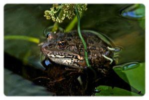 Frog in our pond. by jennystokes
