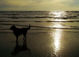 Flatcoat on Beach at Sunset by happinessdragon