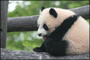 Crying for bamboo by AF--Photography
