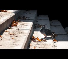 _pigeon by un-kno-wn