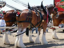 Budweiser Clydesdales at Laguna Seca by Partywave