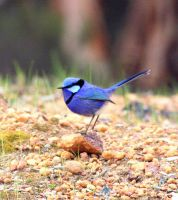 The Blue Wren by BeautifulSoulXxX