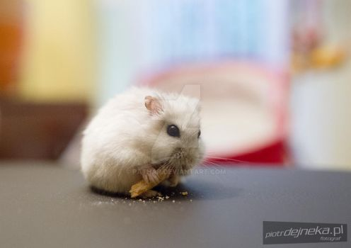 Hungry little hamster by pathar