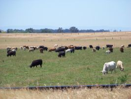Cows cows and cows by tkrain-stock