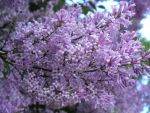 Lilac by claireb