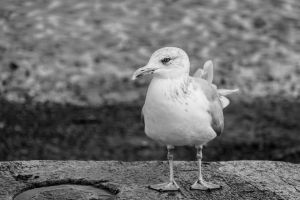 Gull BW by friartuck40
