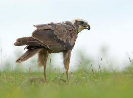 Mine, all mine - Marsh Harrier by Jamie-MacArthur