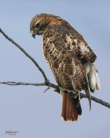 Redtail study by DGAnder