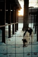 Dog and  Hard winter by ZimmerAuditore