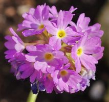 Primula denticulata by starykocur