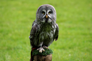 Great Gray Owl by Quiet-bliss