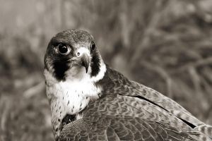 Peregrine in mono by CharmingPhotography