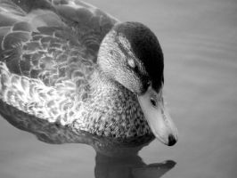 ` Duckling by JohnstonColleen