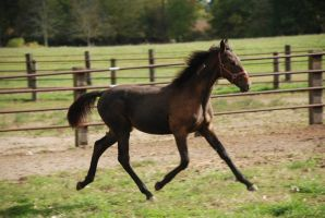 StandieFoal6 by EquestrianPassion