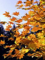 Leaves of gold by gee231205
